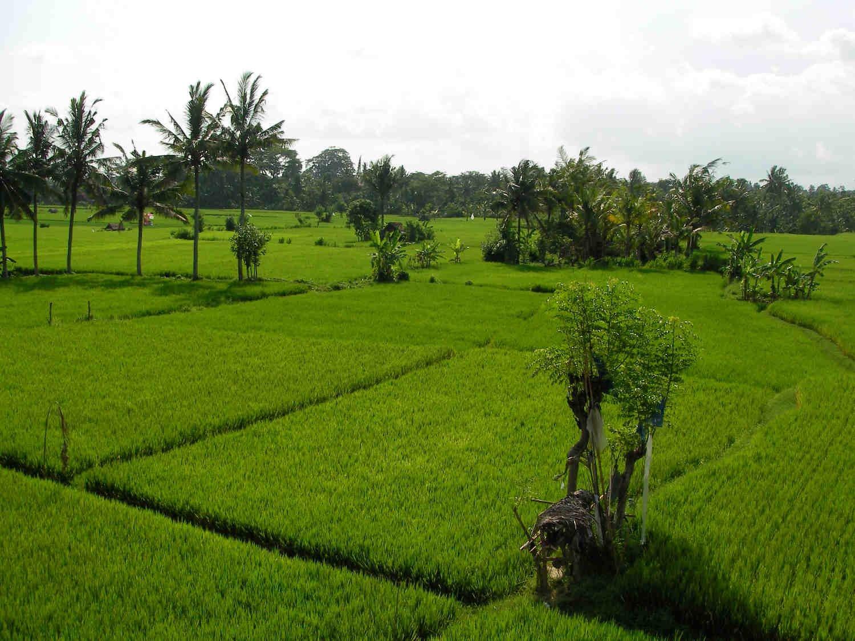 Rice Field Walking